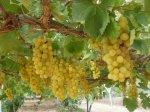 Gaza grapes (28)